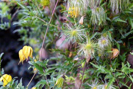 Clematis tangutica flowers in the garden, selective focus. Imagens