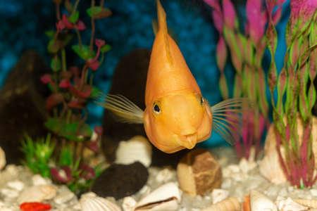 Bright orange cichlid parrot fish in the aquarium, shallow depth of field.