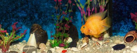 Orange fish cichlid parrot in the aquarium, background. Imagens
