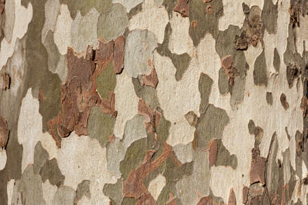 The surface texture of the tree bark sycamore, background.