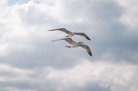 Two seagulls flying in the sky, Turkey. Imagens