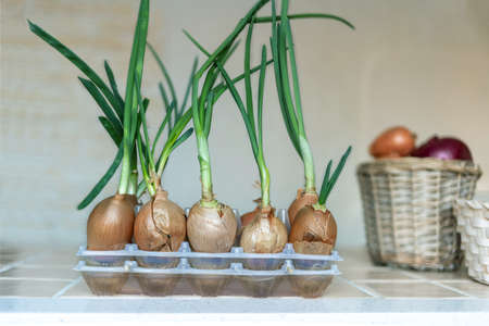 Fresh green onions grown from bulbs, shallow depth of field. Imagens