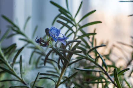 Close up blue rosemary flower on the window, selective focus.