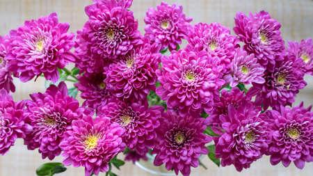 Top view purple bush chrysanthemum flowers, background. Imagens