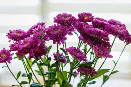 A bouquet of purple chrysanthemums on the window, selective focus.