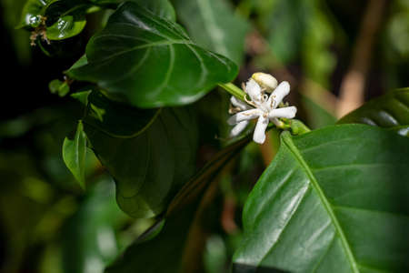 Close up coffee tree blossom with white color flower.
