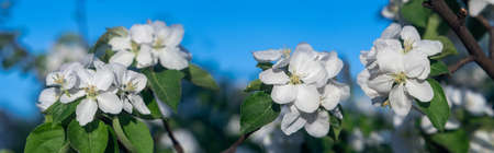 White blooming on an apple tree in the garden, background.