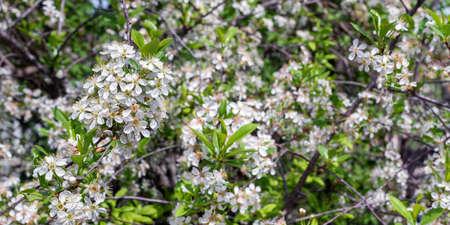 White cherry blossom in the garden in spring.