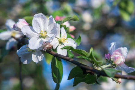 Close up white apple blossom in the garden, background.