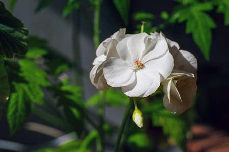 Blossoming white geranium, flower indoor plant, background.