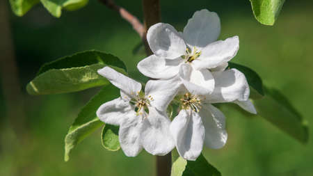 Bright white apple blossoms on a blurry green background, shallow depth of field.
