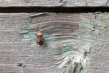 Brown marmorated stink bug on the board.