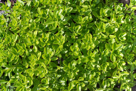 Bright green Sedum leaves, background pattern. Imagens