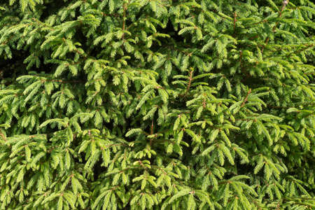Bright green young branches of spruce, background. Imagens