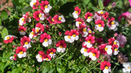 Red and white Nemesia flowers in the garden, background.