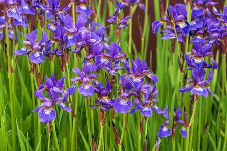 Purple-blue Iris sibirica flower in the garden, background. Imagens