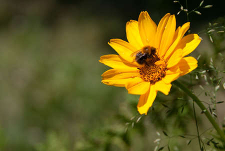 Bee on brightly yellow flower on a green background Stock Photo - 3787147