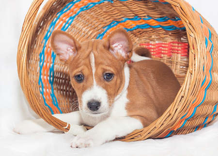 barking: beautiful, cute puppy dogs not barking African dog breed basenji
