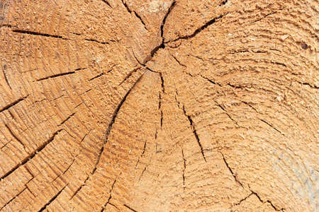 photorealistic: Photo texture of a cut of a natural pine tree close-up Stock Photo