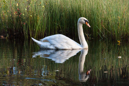 White swan swimming on the lake in the wild Stock Photo