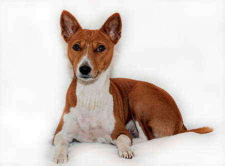 red-haired, African non-fading dog basenji on a white background chinese new year 2018