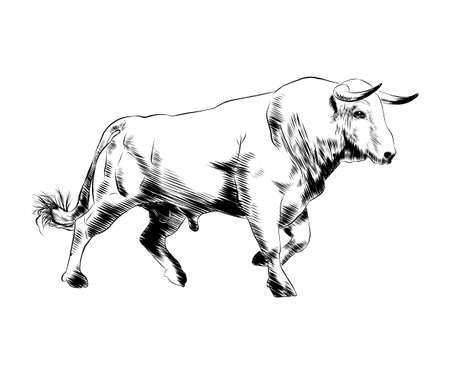 Vector engraved style illustration for posters, decoration and print. Hand drawn sketch of bull in black isolated on white background. Detailed vintage etching style drawing.