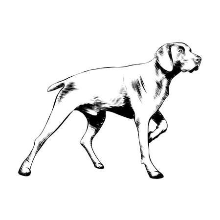 Illustrazione vettoriale in stile inciso per poster, decorazioni e stampe. Schizzo disegnato a mano del cane da caccia in nero isolato su priorità bassa bianca. Disegno dettagliato in stile incisione vintage. Vettoriali
