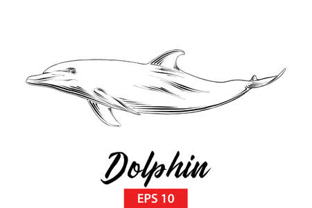 Vector engraved style illustration for posters, decoration and print. Hand drawn sketch of dolphin in black isolated on white background. Detailed vintage etching style drawing.