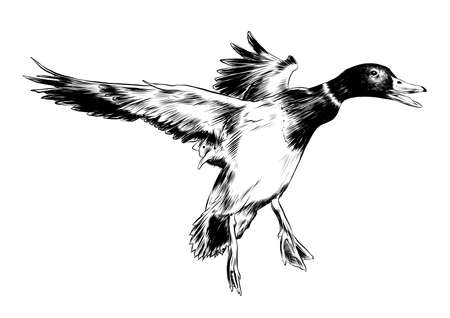 Vector engraved style illustration for posters, decoration and print. Hand drawn sketch of flying duck in black isolated on white background. Detailed vintage etching style drawing.