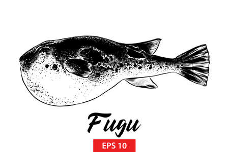Vector engraved style illustration for posters, decoration and print. Hand drawn sketch of fugu fish in black isolated on white background. Detailed vintage etching style drawing.