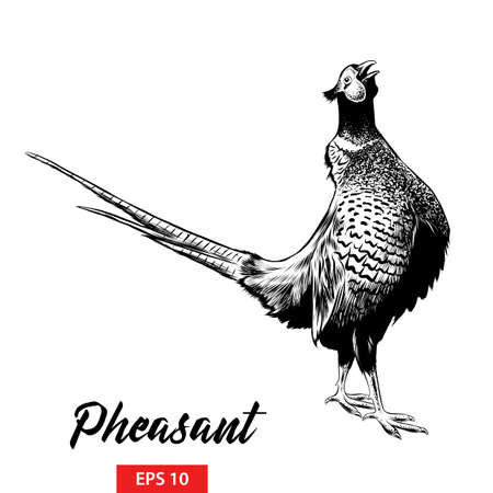 Vector engraved style illustration for posters, decoration and print. Hand drawn sketch of pheasant in black isolated on white background. Detailed vintage etching style drawing. 向量圖像