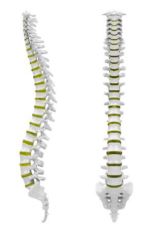 spinal column: The backbone Stock Photo