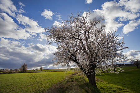 Almond Tree with Blossoms in a green meadow Stock Photo