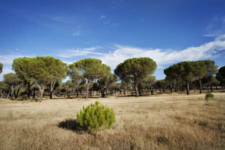 reforestation: Young pine of reforestation with forest at background  Pinar de Antequera  Valladolid, Spain