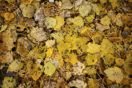 Carpet of yellow leaves decaying. Macro shot. photo