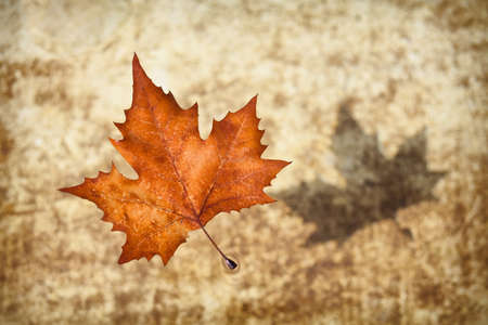 An autumn leaf floating on pond water