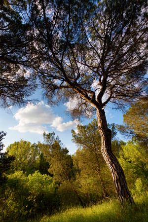 Sunset in the pine forest at Douro river bank. Valladolid, Spain. Stock Photo