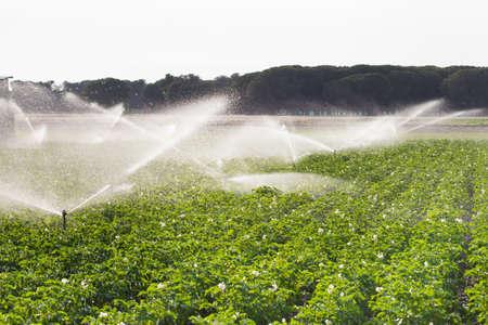 Irrigation in Field of growing potatoes. Valladolid Spain. Standard-Bild