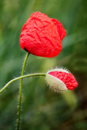 Poppy helps a bud to born. Macro shot. photo