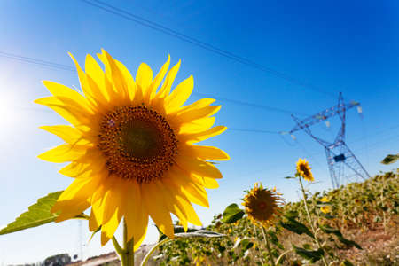 Sunflower with electricity pylons defocused. Clean energy. Stock Photo