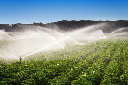 potato field: Irrigation in Field of growing potatoes  Valladolid, Spain
