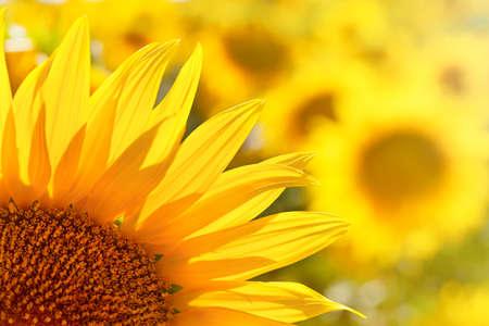 Backlighting Sunflower Detail, Macro shot