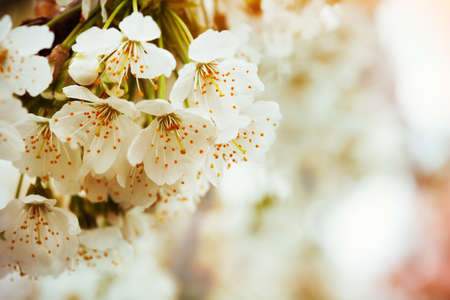 White flowers of the cherry blossoms on a spring day  Macro shot with selective focus and copy space