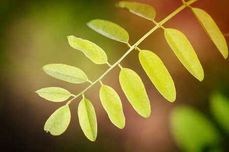 Acacia leaves at backlight. Macro outdoors shot.