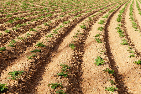 Rows of youngs potatoes in field. Personal perspective. Stock Photo