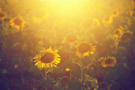 Backlighting Sunflower Detail Vintage
