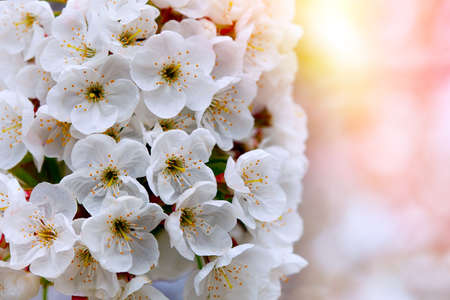 White flowers of the cherry blossoms on a spring day.