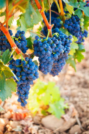 Bunches of ripe grapes ready for harvest