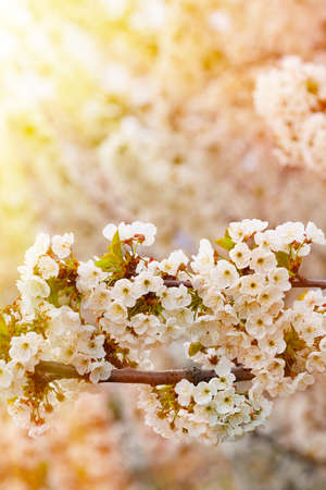 White flowers of the cherry blossoms on a spring day. Macro shot with selective focus and copy space
