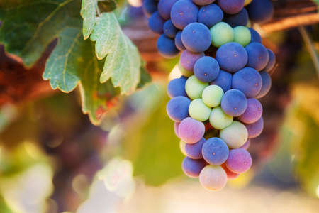 Wine Grapes Ripening. Macro shot with selective focus Stock Photo